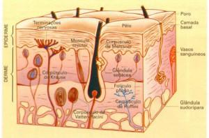 O Tato receptores